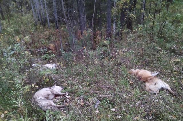 Ярослав не сразу поверил своим глазам: его собак убили!