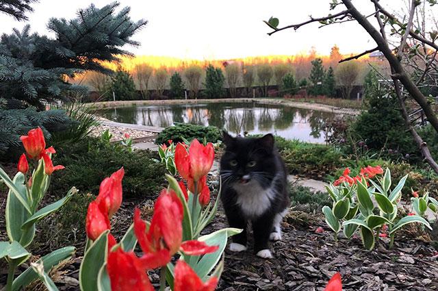Полюбоваться сортовыми тюльпанами приходит и кот.