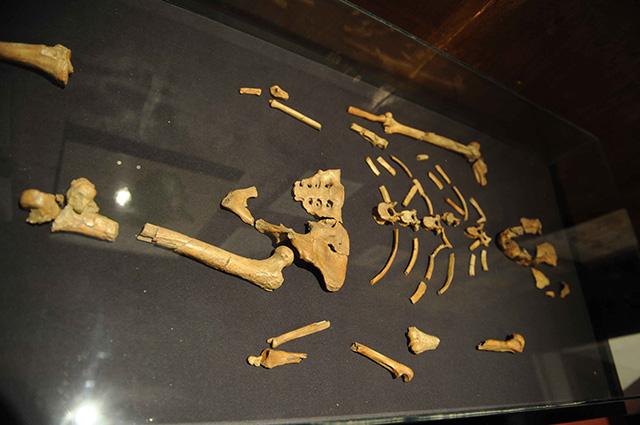 Гипсовая копия скелета Люси в Национальном Музее Эфиопии в Аддис-Абебе