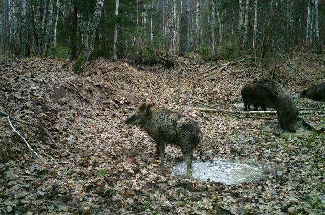 Кабаны с уважением относится ко всем обитателям и гостям леса.