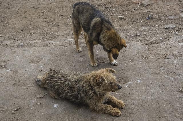 Две бродячие собаки спасли девушку от насильника.