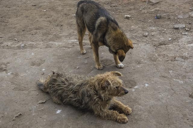Война боровчан с бродячими псами идет не один год.
