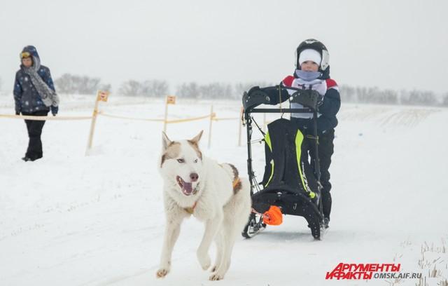 Гонки на собачьих упряжках проходят в Барнауле традиционно.