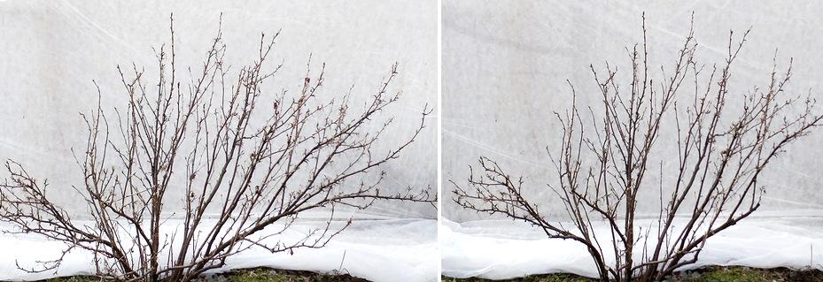 Куст смородины до обрезки (слева) и после обрезки (справа).