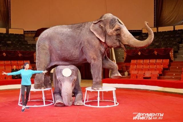 Слонихи весят 4,5 и 5,5 тонн.