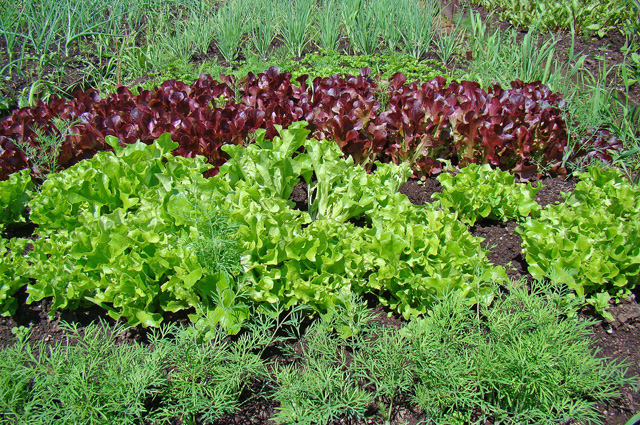 Салат и укроп
