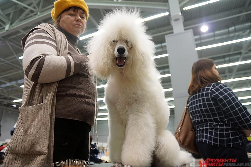 Для зрителей на стендах для всеобщего обозрения представлены 80 пород собак.