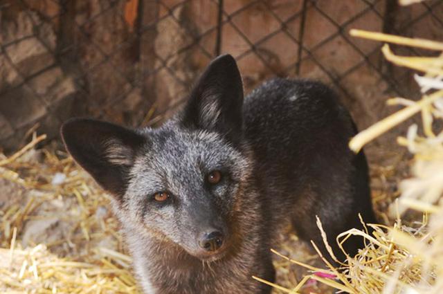 Чернобурую лису по кличке Фоксик воспитала кошка Мурка.