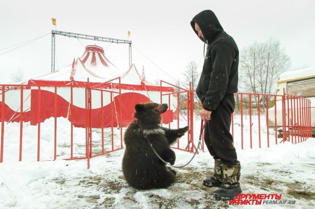 Теперь медведь вместе с цирком отправится дальше.