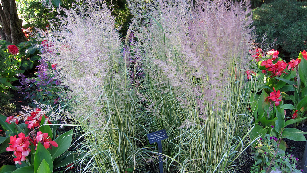 Вейник остроцветковый (Calamagrostis x acutiflora).