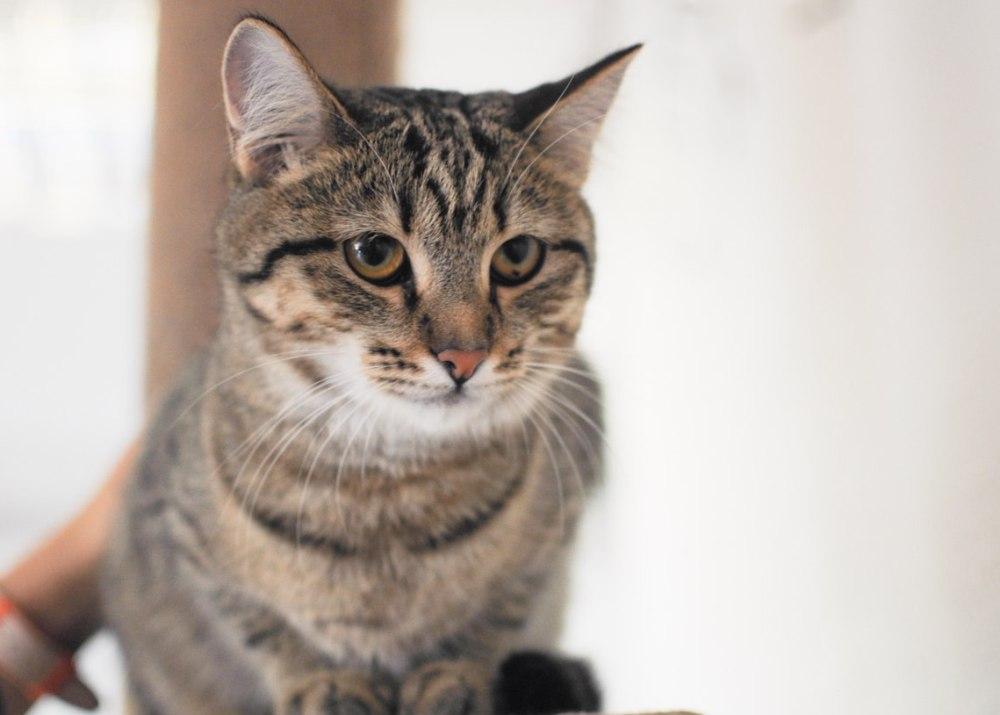 Дашенька - ласковая и спокойная кошка.