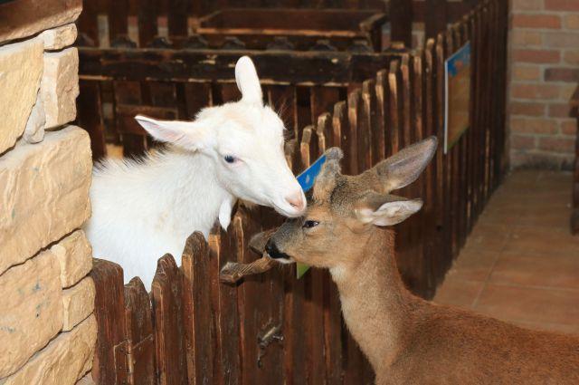 Коза и олень