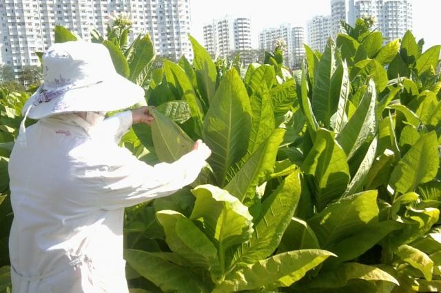 Табак вырастет только в июле. Сейчас он ещё маленький