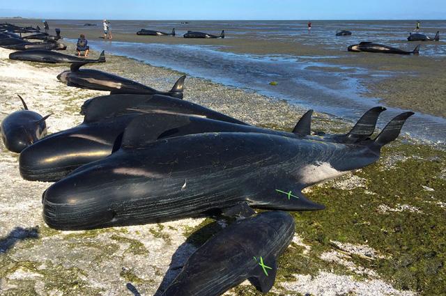 Сотни гринд (черных дельфинов) выбросились за минувшую ночь на побережье залива Голден, что на севере Южного острова Новой Зеландии.
