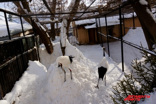 Японские журавли совсем недавно образовали пару. У них ещё не было потомства.