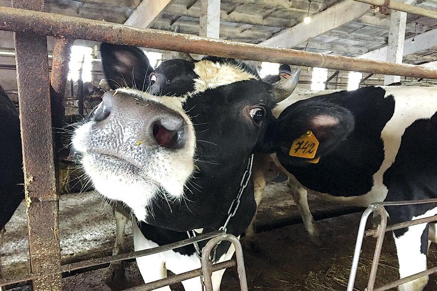 Аграрии планируют использовать белорусский опыт для развития молочного животноводства.