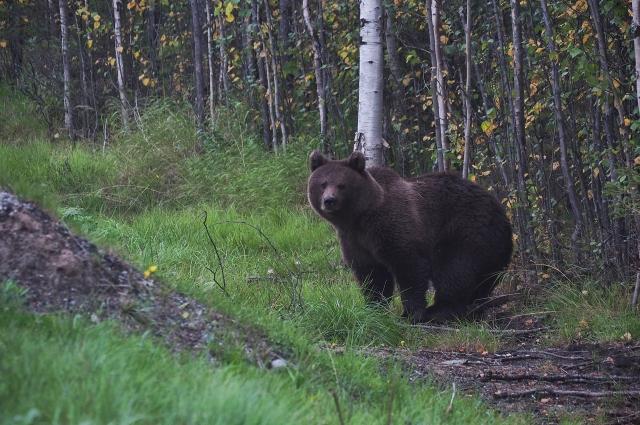 Встреча с молодым медведем в Карелии.