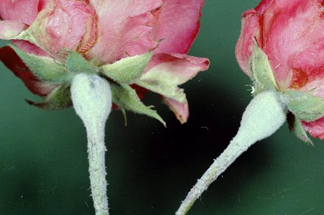 Мучнистая роса на бутонах розы