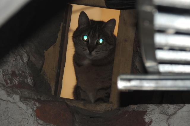 Эрмитажные коты охраняют Зимний дворец от грызунов.