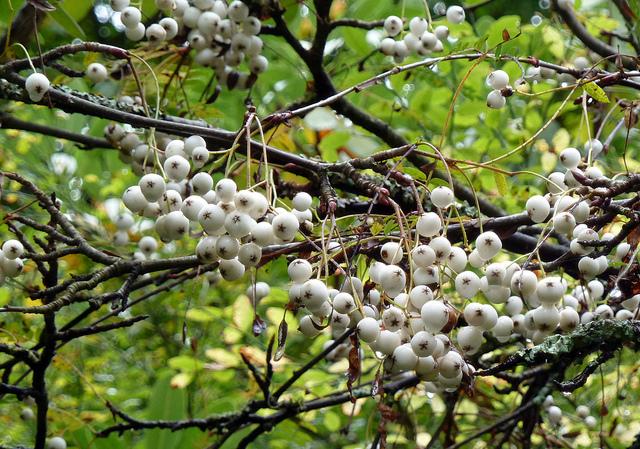 Рябина Кёне (Sorbus koehneana).
