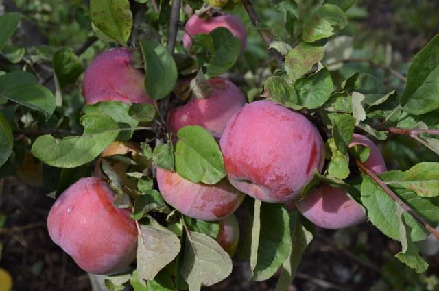яблоко сорт Брянское