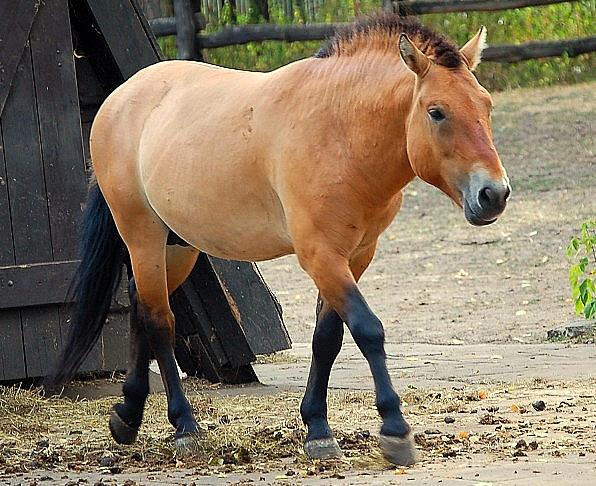 Сегодня в оренбургских степях снова живут лошади, которые носят имя великого исследователя.