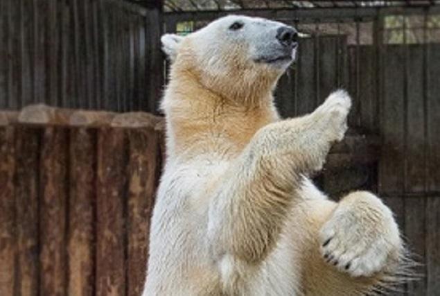 А еще в Пензенском зоопарке можно увидеть белого медведя.