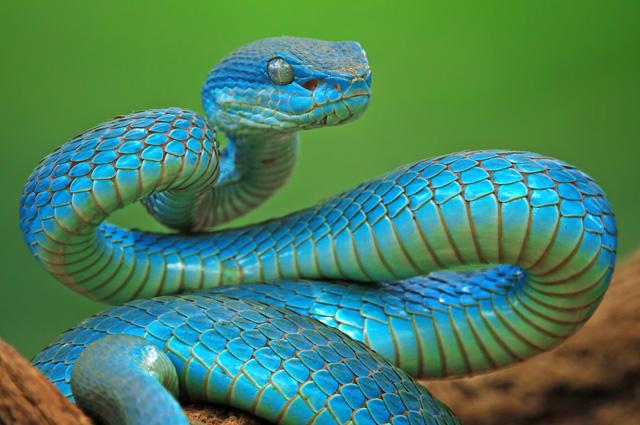 Куфии (лат. Trimeresurus), также известные как копьеголовые змеи.