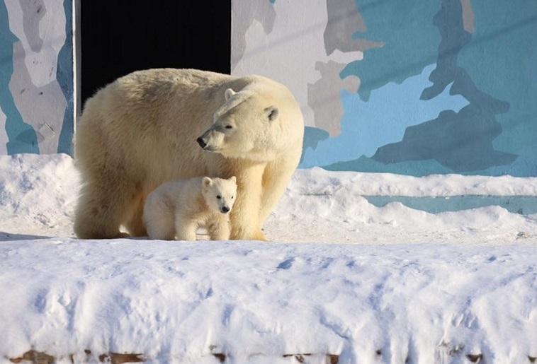 В первый раз выйдя в вольер медвежонок показал свой бойкий характер.