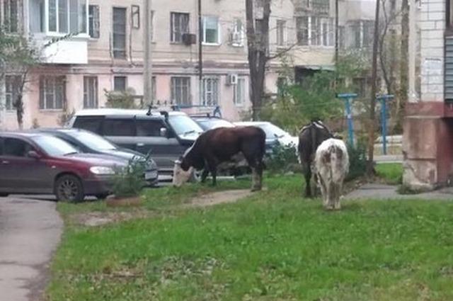 Коровы заполонили дворы городского района.
