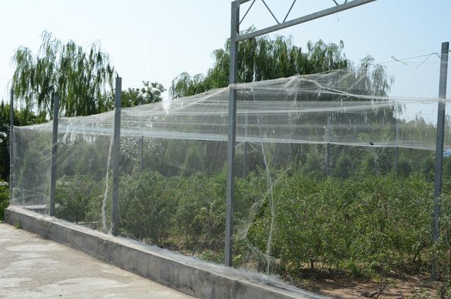 Чтобы защитить посадки от птиц, их выращивают под сетками