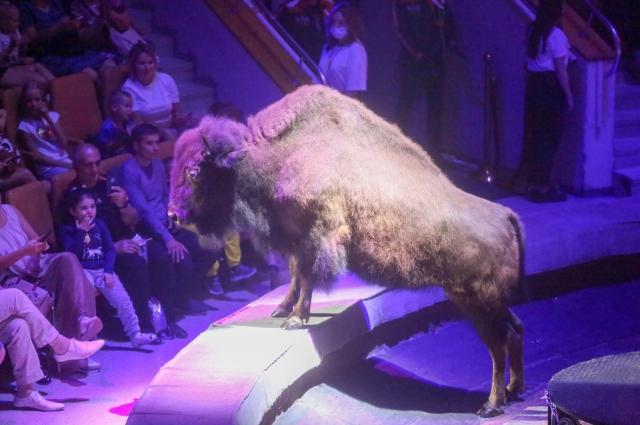 Канадские бизоны.