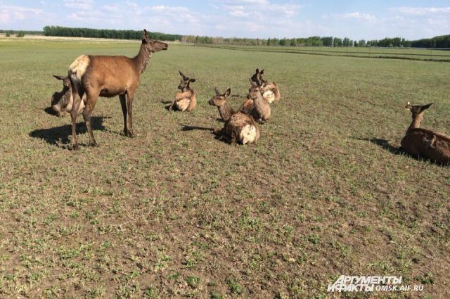 Маралы относятся к подвиду благородного оленя.