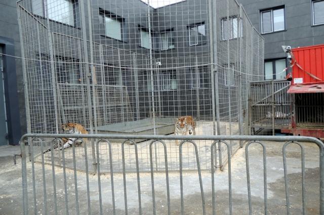 Тигры гуляют рядом со своим
