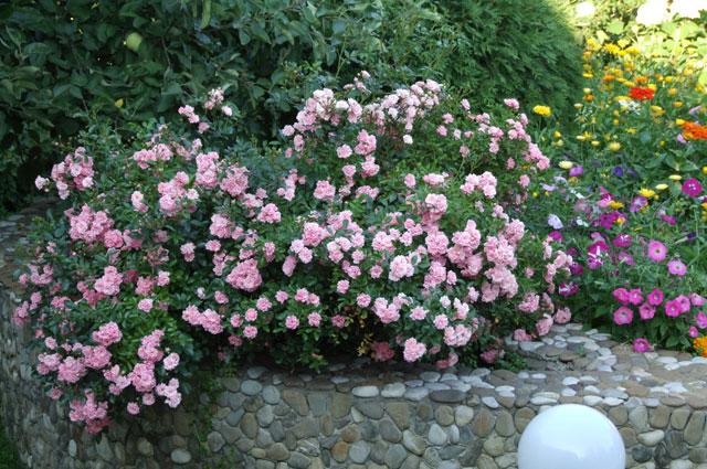 Почвопокровная роза хороша на склонах.