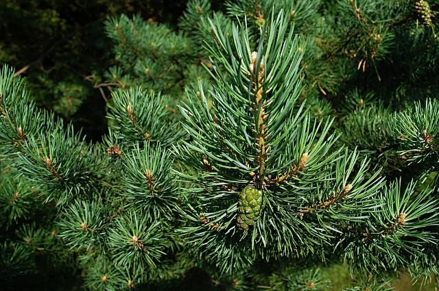 Также это дерево - рекордсмен по возрасту.