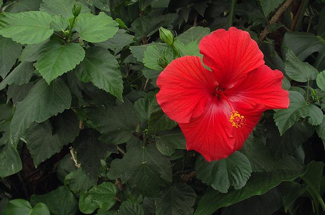Цветок гибискуса невозможно ни с чем перепутать