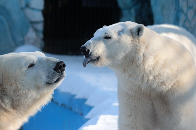 Белые медведи ведут себя очень романтично.