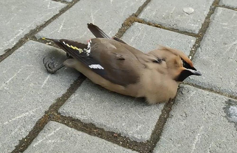Птицы умирали на лету