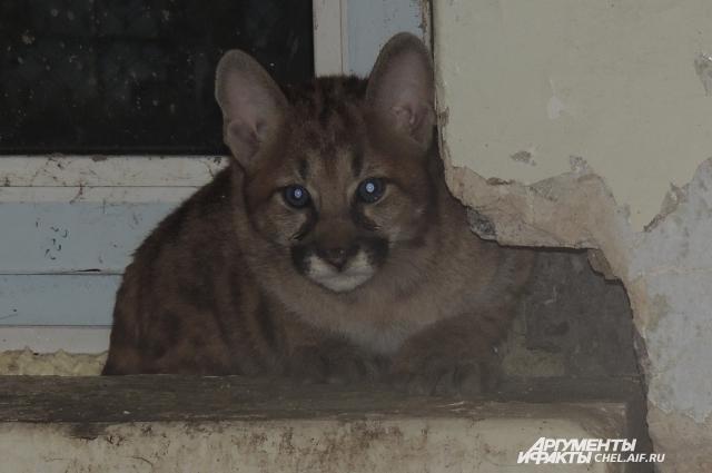 Котята пумы милы, но опасны.