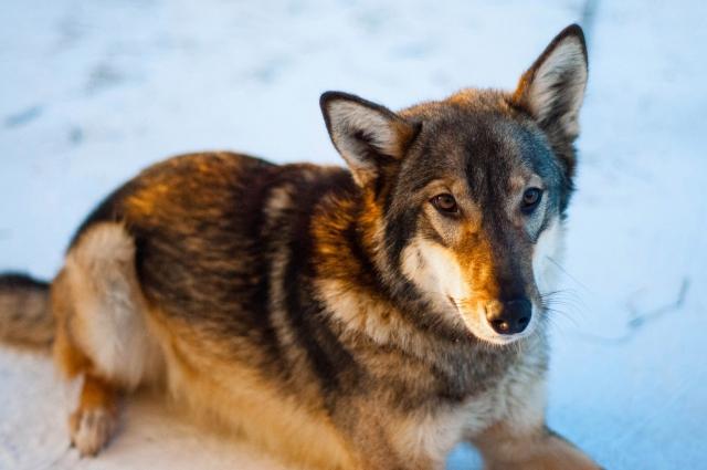 Волк дружелюбен и ладит со многими животными центра.