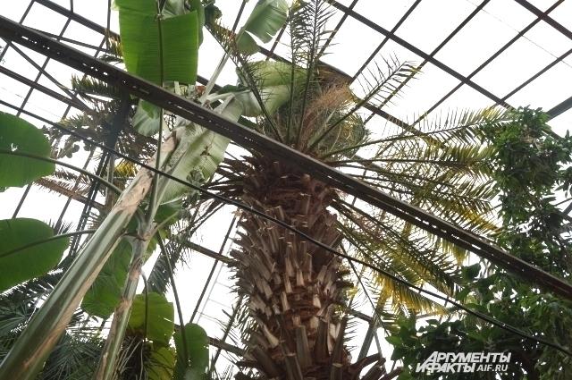 Для того, чтобы пальма могла расти дальше, необходимо перестроить помещение.