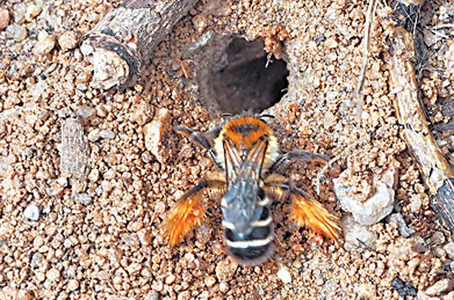 Мохноногая пчела обитает внашем районе, а также вАзии, Северной Африке иЯпонии.