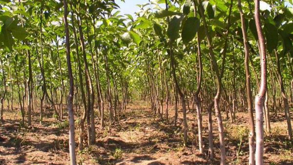 Ореховую рощу высаживает на месте, где долгие годы рос один бурьян
