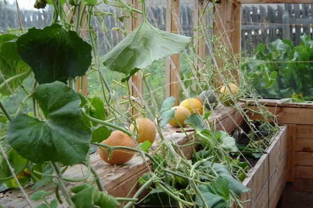 Дыни выращивают в теплице