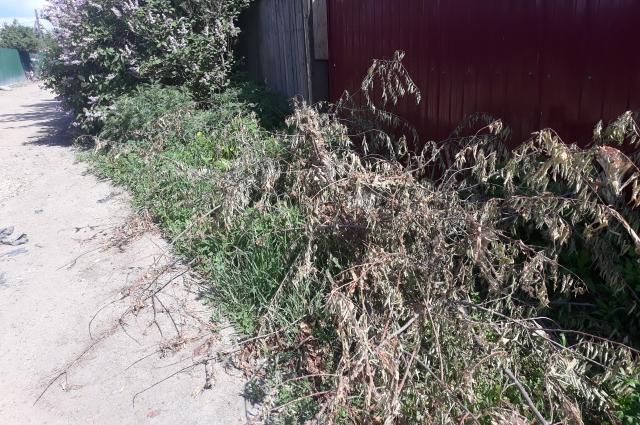Некоторые дачники, отчаявшись, вырубили на своих участках деревья черёмухи.