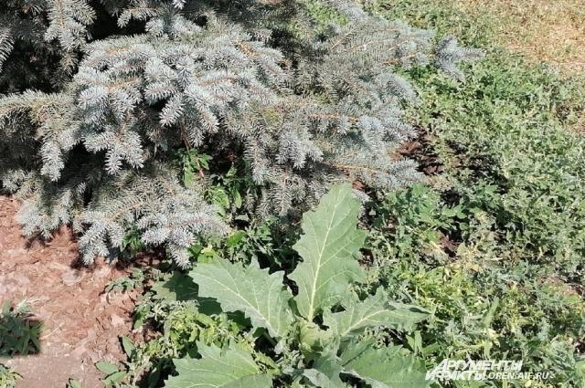 Соседство благородного растения рядом с сорняком в Оренбурге не редкость.