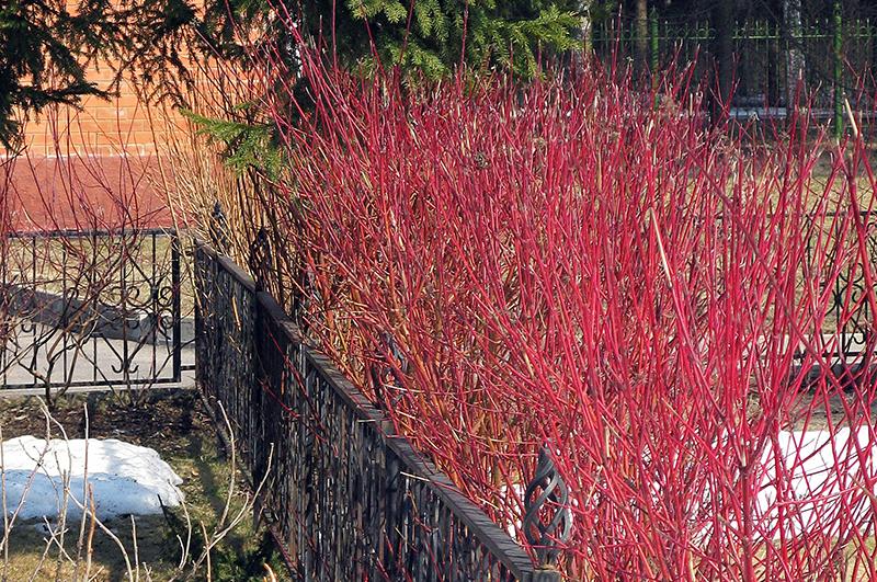 Яркие побеги украшение зимнего сада