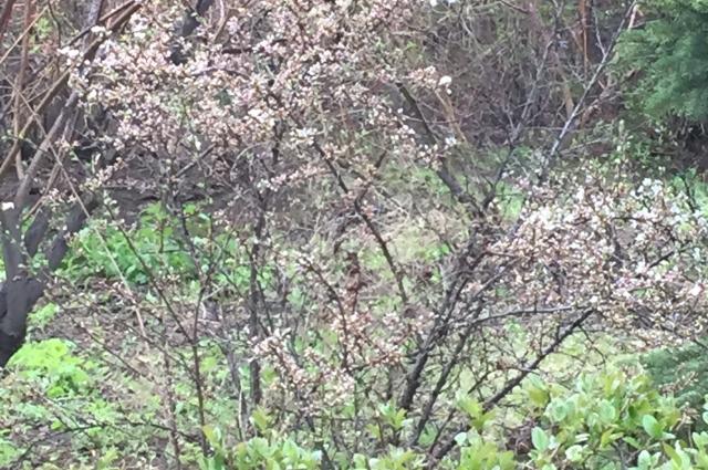 Миндаль весной в Омске очень красив в своем цветении.