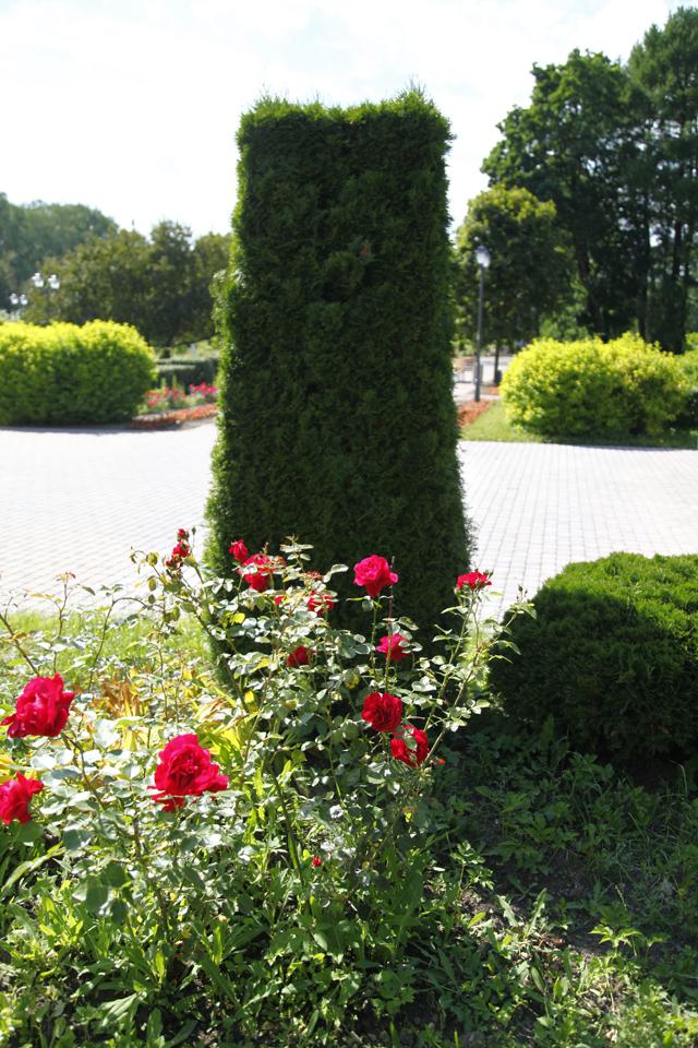 Роза Гротендорст вБольшом розарии.